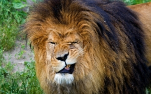 lion-mane-mouth